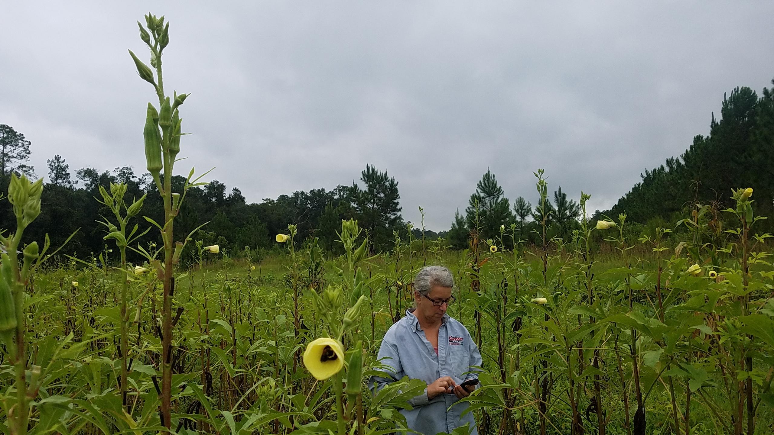 2560x1440 Bee in okra flower Gretchen, Okra, in Swamp and Garden, by John S. Quarterman, for OkraParadiseFarms.com, 30 July 2017