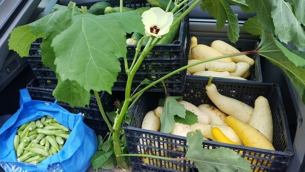 600x338 Okra, cucumbers, yellow squash, and more, Produce, in Banana, passion flower, garden, dogs, produce, by John S. Quarterman, for OkraParadiseFarms.com, 21 June 2017