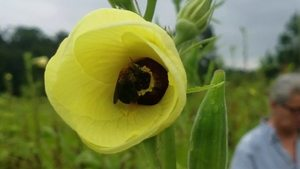Movie: Bee in okra flower (43M), Okra