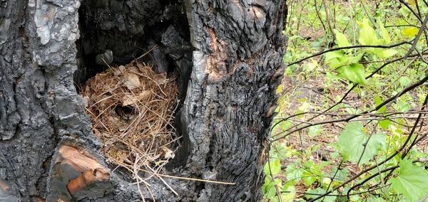 [Bird on nest in longleaf pine tree]