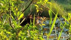 [Movie: Wasps in bush at pond (18M)]