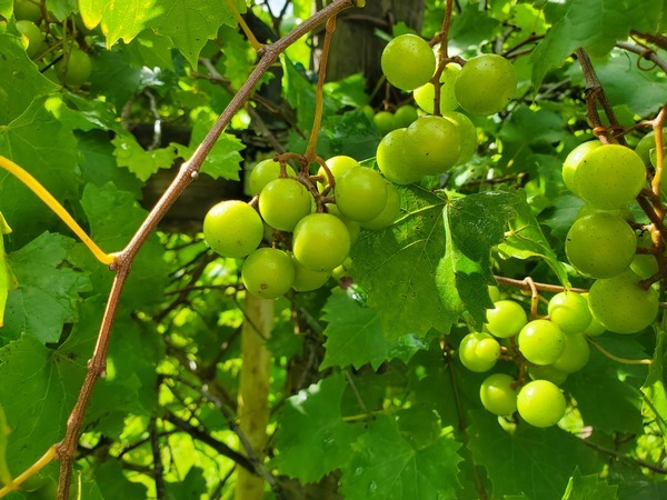 [Green Grapes]