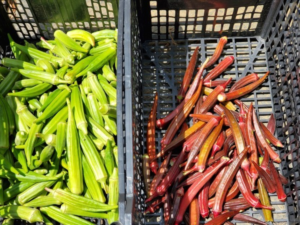 [Okra, green and red]
