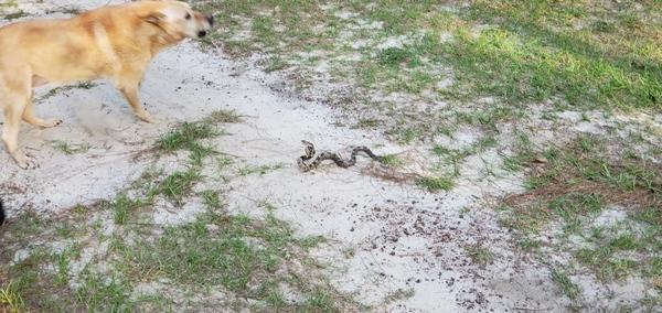 [Honeybun, Yellow Dog, snake]