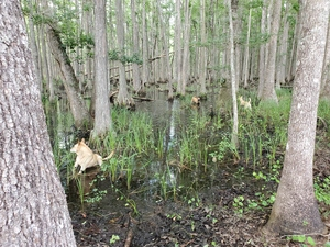 [Dogs in the cypress swamp]