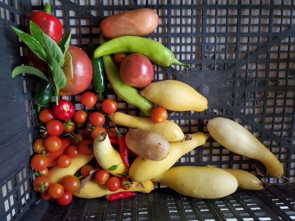 [Tomatoes, yellow squash, basil, peppers: banana, atomic, serrano, jalapeño]