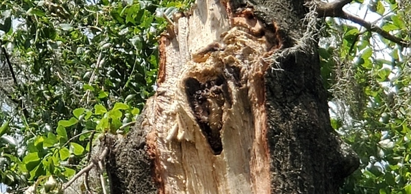 [Bee hive in bee tree stob]