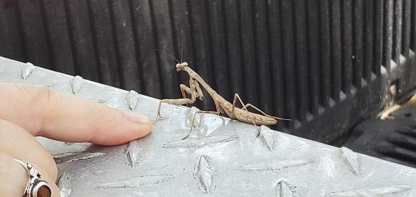 [Mantis]